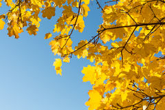 有力地与无云的天空的秋季落叶树 库存图片
