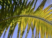 有午间太阳的光的棕榈树叶子 免版税库存图片