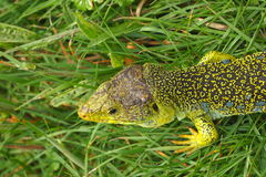 有单眼的蜥蜴 免版税库存照片