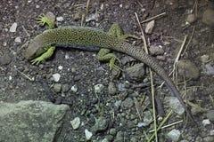 有单眼蜥蜴& x28; Timon lepidus& x29; 免版税库存照片