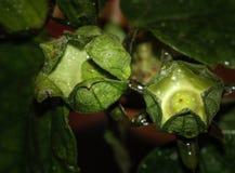 有卵巢的木槿花苞 库存图片