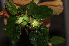 有卵巢的木槿花苞 免版税图库摄影