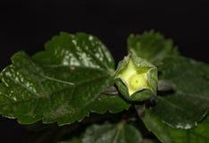 有卵巢的木槿花苞 免版税库存照片