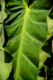 有卷曲的边缘的大绿色叶子 库存照片