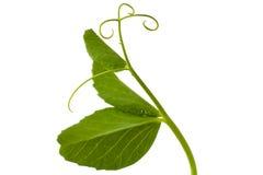 有卷须的豌豆叶子 库存图片