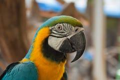 有厚实的票据的金刚鹦鹉头 图库摄影