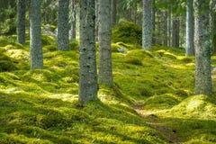 有厚实的青苔的美丽的绿色森林在地板上 免版税库存照片