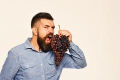 有去狂放的面孔的种葡萄并酿酒的人咬住葡萄 库存图片