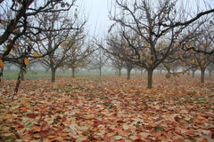 有及早柿树有薄雾的多云早晨的秋天庭院 免版税库存照片