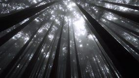 有发光通过有薄雾的森林的太阳的柏树冠在阿里山风景区,台湾 股票视频