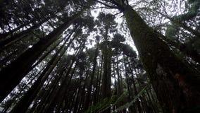 有发光通过森林的太阳的柏树冠在阿里山风景区,台湾 股票录像