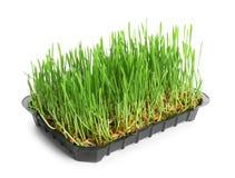 有发芽的麦子草种子的容器在白色 免版税库存图片