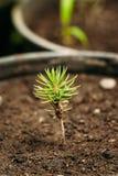 有叶子、叶子生长从土壤的在罐自温室或温室的杉树厂绿色新芽  库存照片