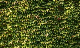 有叶子的墙壁波士顿常春藤(爬山虎属tricuspidata) 库存照片