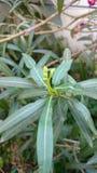 有叶子的夹竹桃植物 免版税库存照片