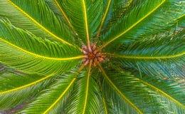 有叶子的热带棕榈树冠从上面 免版税库存照片