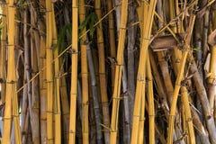 有叶子的老竹植物 免版税库存照片
