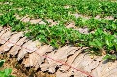 有叶子的草莓农场。 库存图片