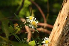 有叶翠菊的长矛 库存照片