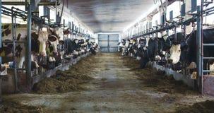 有吃干草,母牛的奶牛的现代农厂谷仓哺养在奶牛场 股票录像