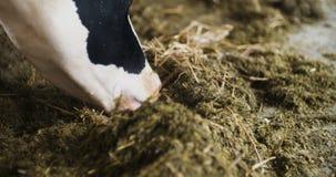 有吃干草,母牛的奶牛的现代农厂谷仓哺养在奶牛场 股票视频
