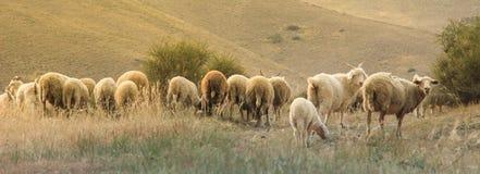 有吃草在山的美丽的绵羊的全景 图库摄影