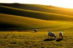 有吃草在领域的三只绵羊的苏克塞斯绵延山 免版税库存照片
