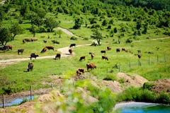 有吃草的母牛,田园诗风景湖riegsee草甸 库存图片