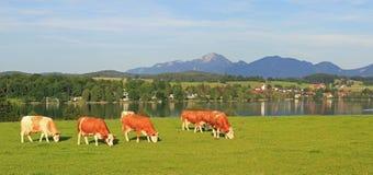 有吃草的母牛,田园诗风景riegsee,巴伐利亚草甸 免版税库存照片