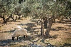 有吃草的绵羊-风景老橄榄树小树林 免版税库存图片