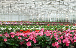 有各种各样的培养的花的温室 免版税库存图片