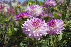 有各种各样的花的美丽的五颜六色的花园 库存图片