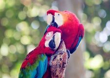 有同情心的鹦鹉红和蓝色金刚鹦鹉 库存照片