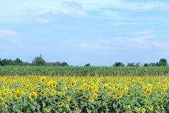 有后边甘蔗农场的开花的向日葵农场 免版税库存照片