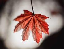有后面照明设备的红槭叶子 免版税库存照片