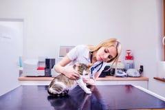 有听诊器审查的猫的兽医与疼痛胃 库存照片