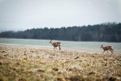 有启发性鹿做哺养在有雾的冬时的草甸与背景的森林 图象的两在中部做獐鹿 库存照片