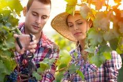 有吸引力的夫妇采摘葡萄 库存照片