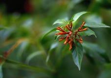 有吸引力的束瘦长的红色芽和绽放 免版税图库摄影