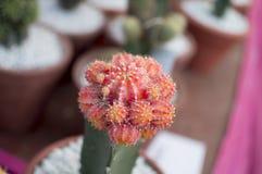 有吸引力的桃红色仙人掌 库存照片