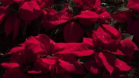 有吸引力的红色天鹅绒一品红或大戟属pulcherrima 免版税图库摄影