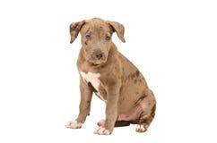 有吸引力的美洲叭喇小狗 免版税库存照片