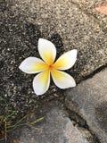 有吸引力的黄色赤素馨花或羽毛花 库存照片