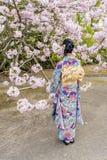 有和服的女孩在绽放在春季,日本的一棵樱桃树附近 免版税图库摄影