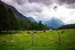 有哺养的绵羊的高山草甸与在后面befour的高山猛冲,斯洛文尼亚 免版税库存照片