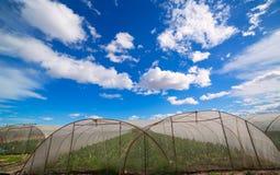 有唐莴苣菜的温室在剧烈的蓝天下 免版税库存图片