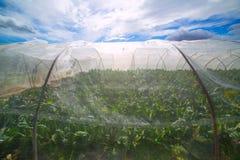 有唐莴苣菜的温室在剧烈的蓝天下 免版税库存照片