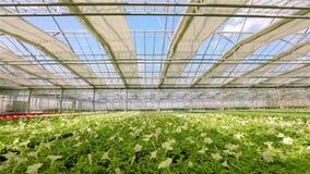 有喇叭花的大明亮的温室 黄色开花的喇叭花 在一个工业规模的增长的花 在的喇叭花 股票录像
