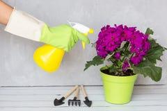 有喷洒一朵开花的花的手套的妇女反对植物病和虫 用途有杀虫剂的手喷雾器在庭院里 免版税库存照片