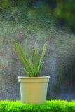 有喷水的红洋葱植物在健康干净的有机食品的温室使用 免版税库存照片